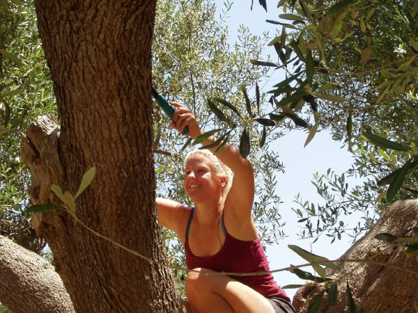 Me pruning olive trees